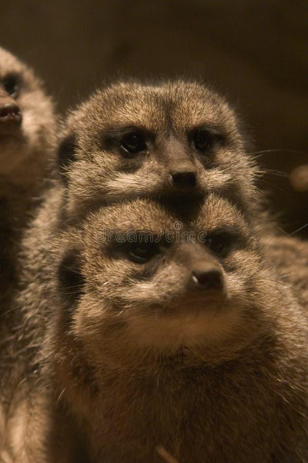 Meerkats foto de stock