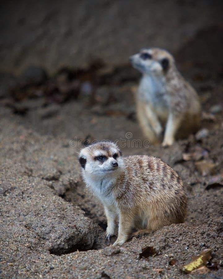 Meerkats stockfotografie