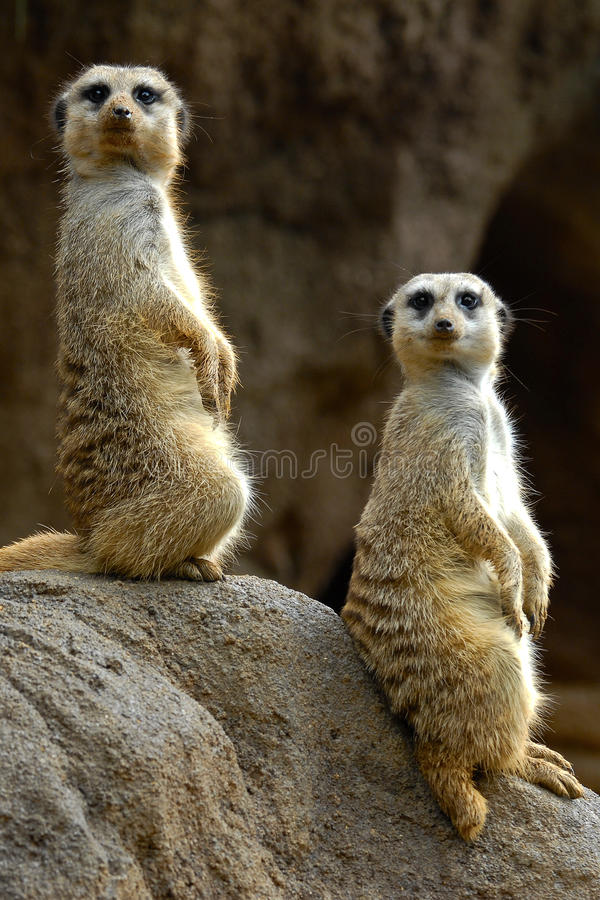 meerkats royaltyfria foton