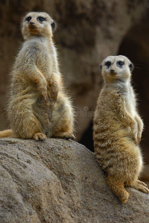 meerkats στοκ εικόνα