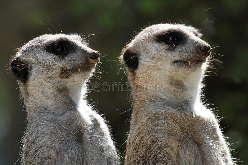 Meerkats royalty-vrije stock foto's