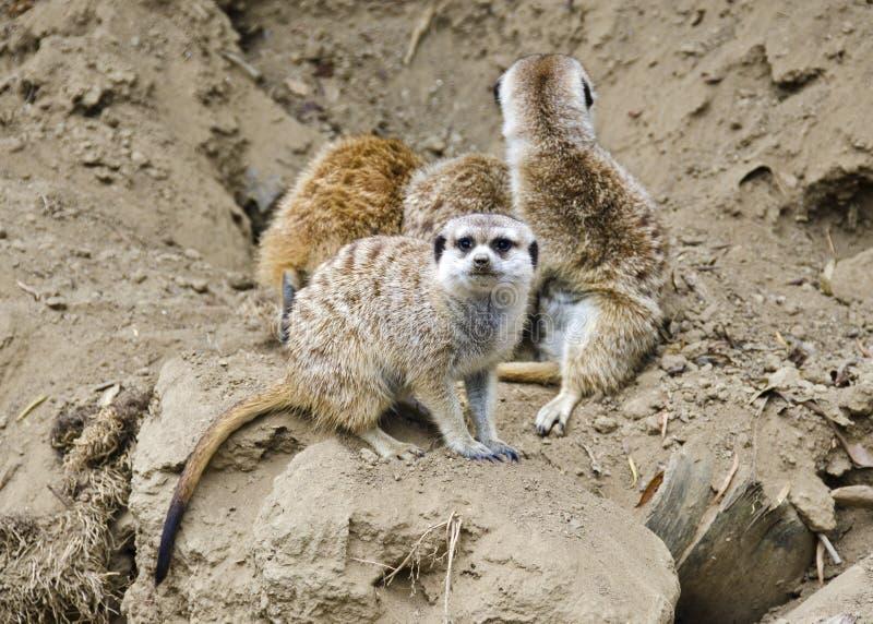 Meerkats photo libre de droits