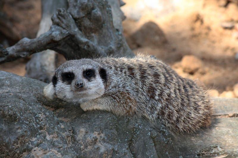 Download Meerkats. stock photo. Image of animals, scared, hiding - 24907642