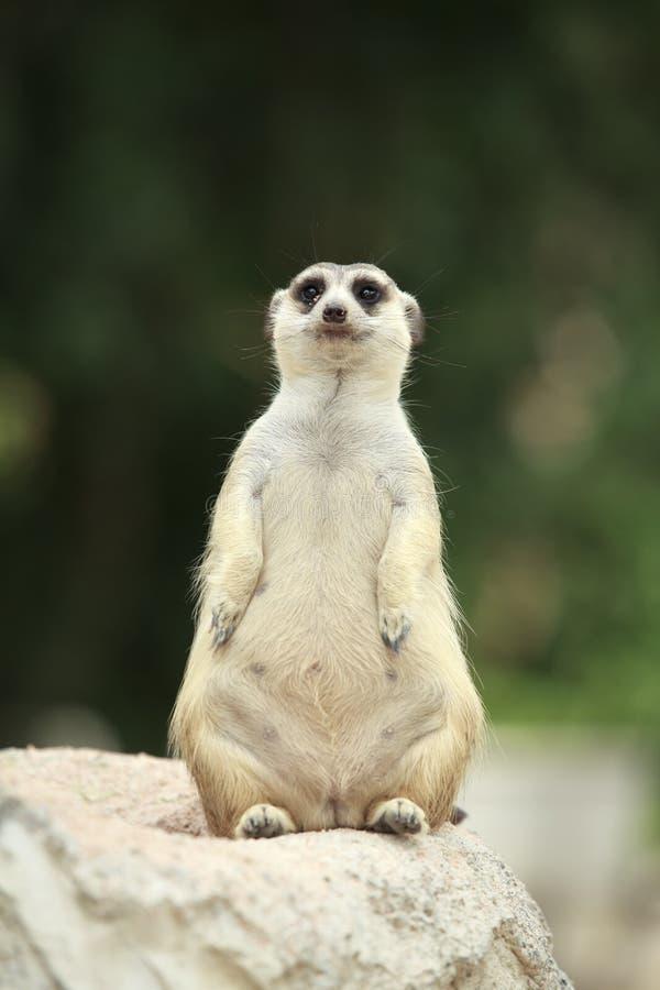 Download Meerkats Stock Photography - Image: 25235502