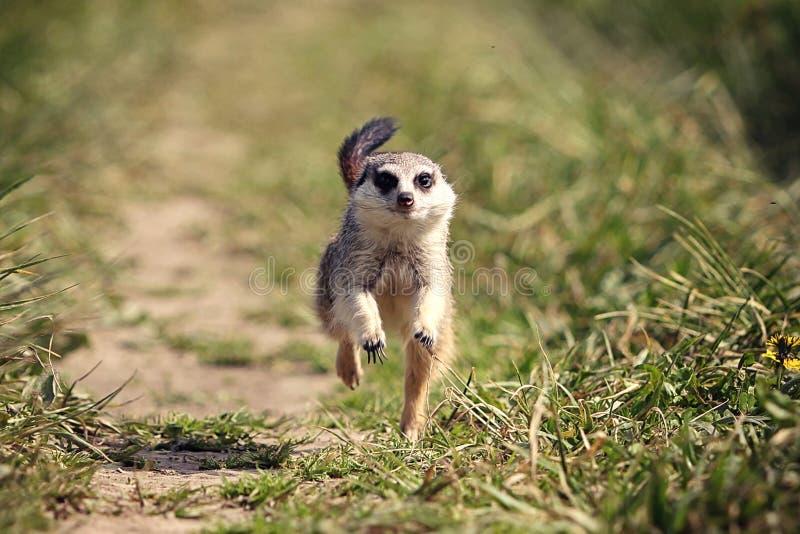 Download Meerkats stock image. Image of meerkats, green, plant - 25872323