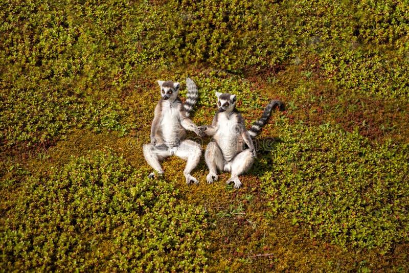 Meerkats стоковые изображения rf