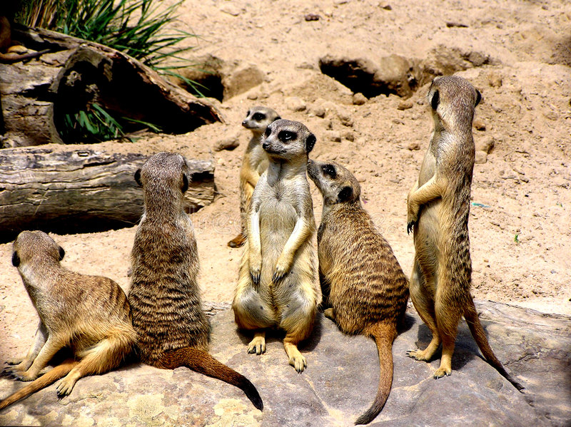 meerkats στοκ φωτογραφίες