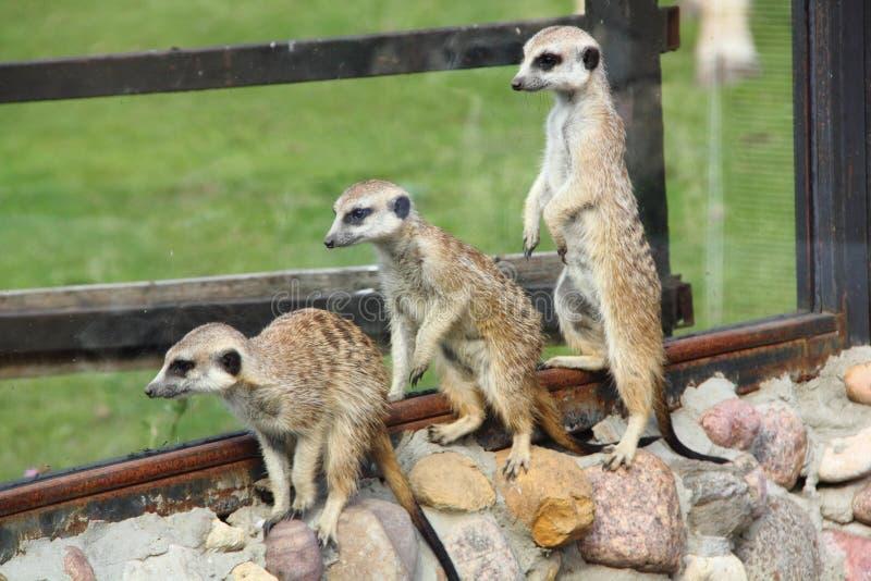 Meerkats. obraz royalty free
