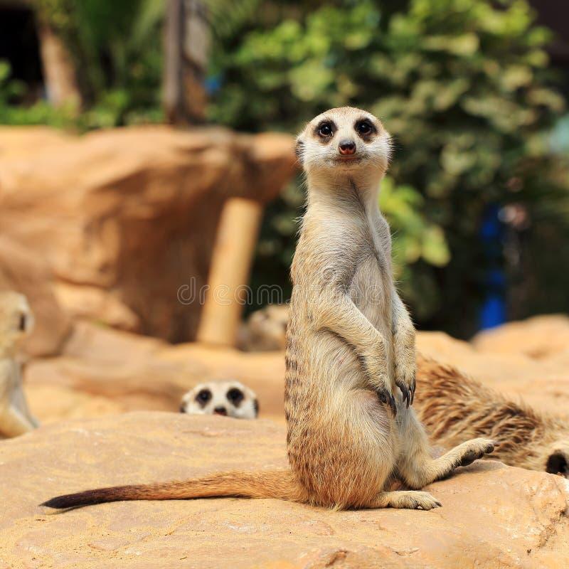 Meerkats fotografering för bildbyråer