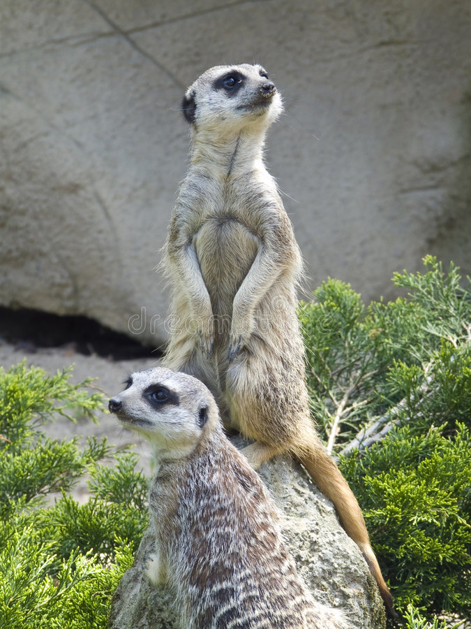 Download Meerkats stock photo. Image of nature, furry, protect - 5080218
