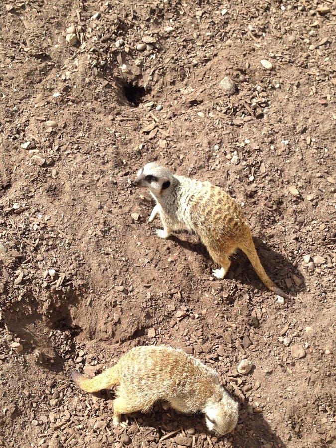 Meerkats images stock