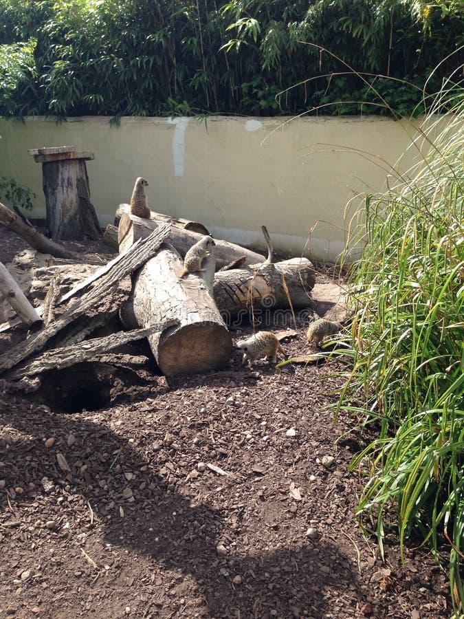 Meerkats images libres de droits