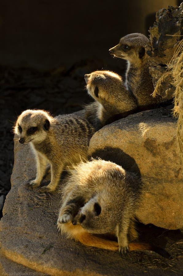 Meerkats photos stock