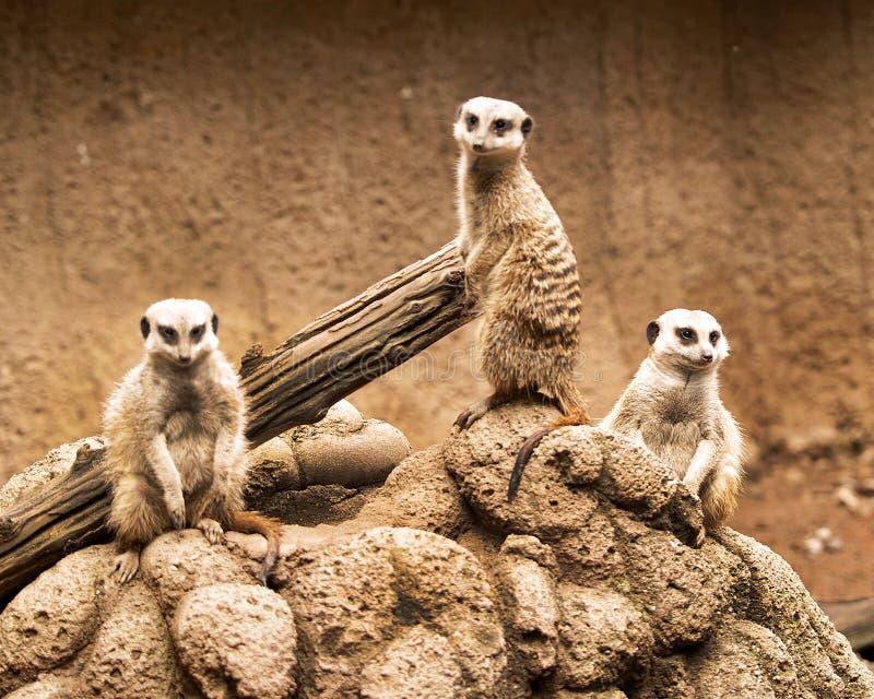 Meerkats 2 fotografía de archivo libre de regalías