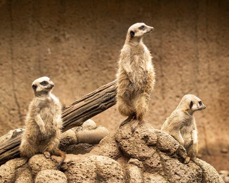 Meerkats 1 foto de archivo