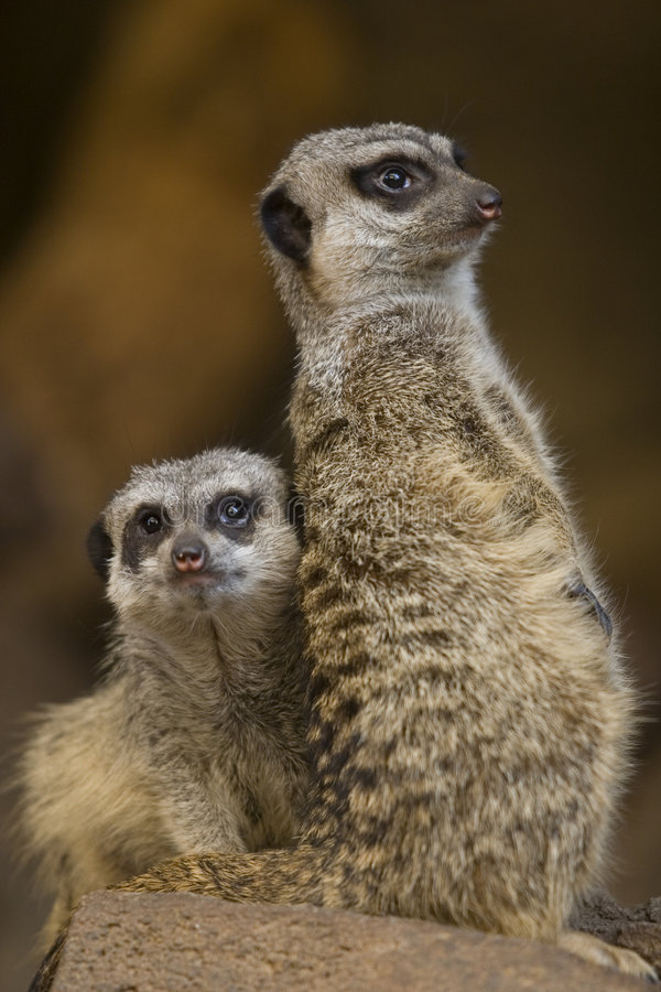 Download Meerkats stock image. Image of biology, fauna, animals - 7448689