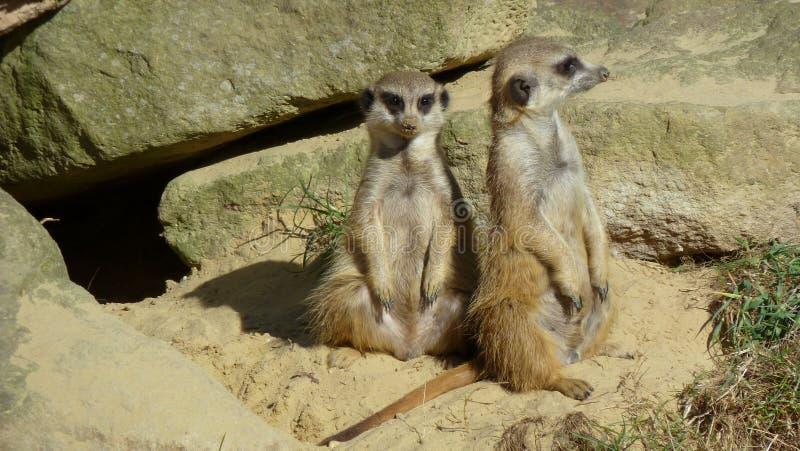 Meerkats obrazy stock