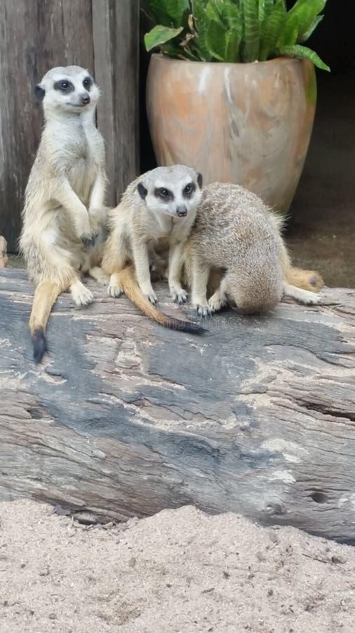 Meerkats стоковая фотография