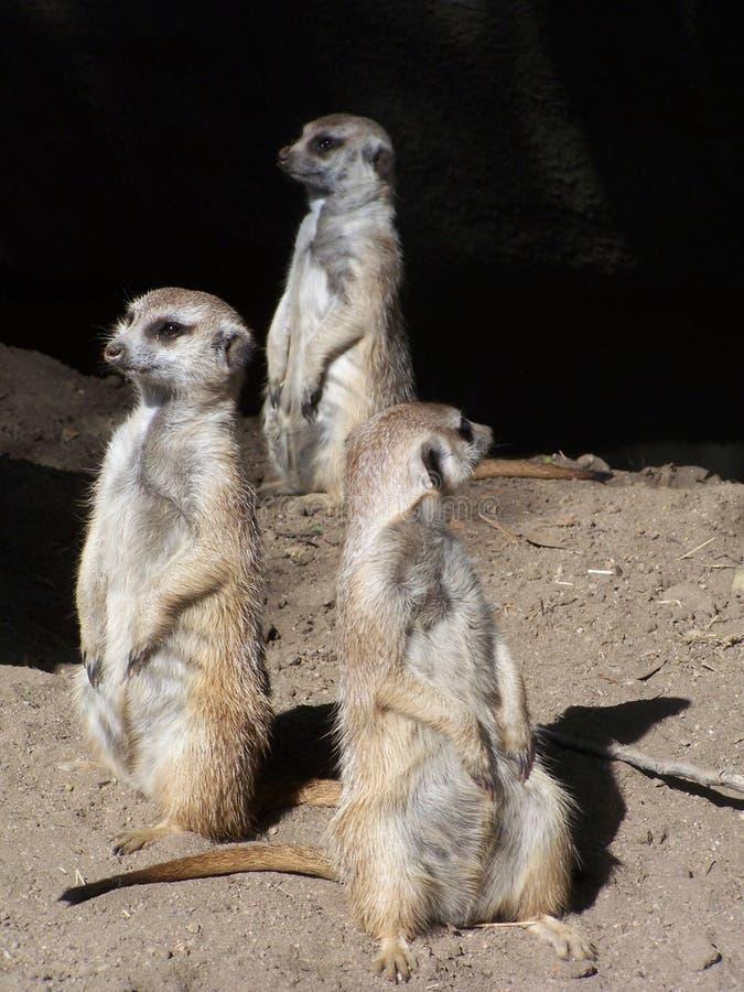 Meerkats on alert stock images
