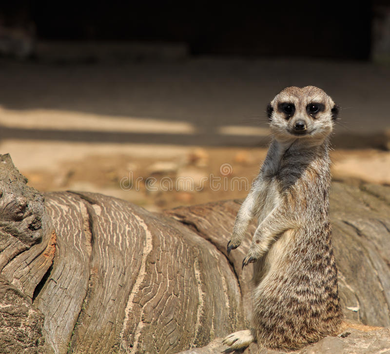 Meerkats Animali del parco naturale del rceno del ¡ di Cabà immagini stock libere da diritti