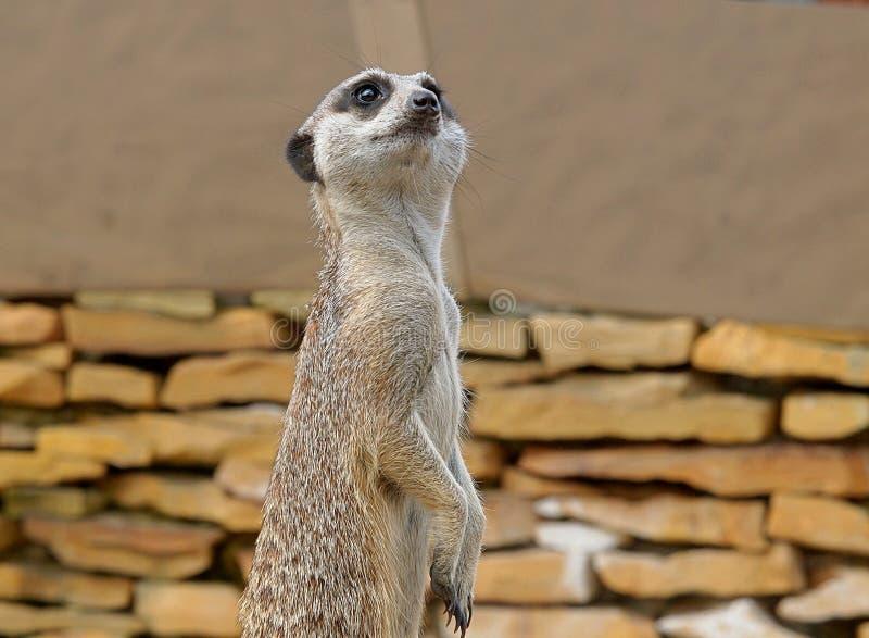 Meerkats attentif dehors photographie stock