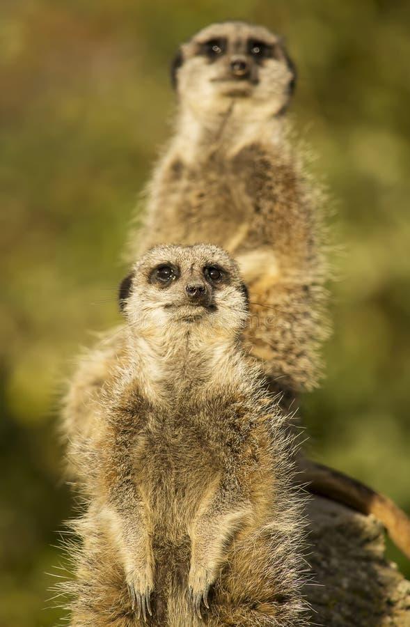 Meerkats auf dem Ausblick lizenzfreies stockfoto