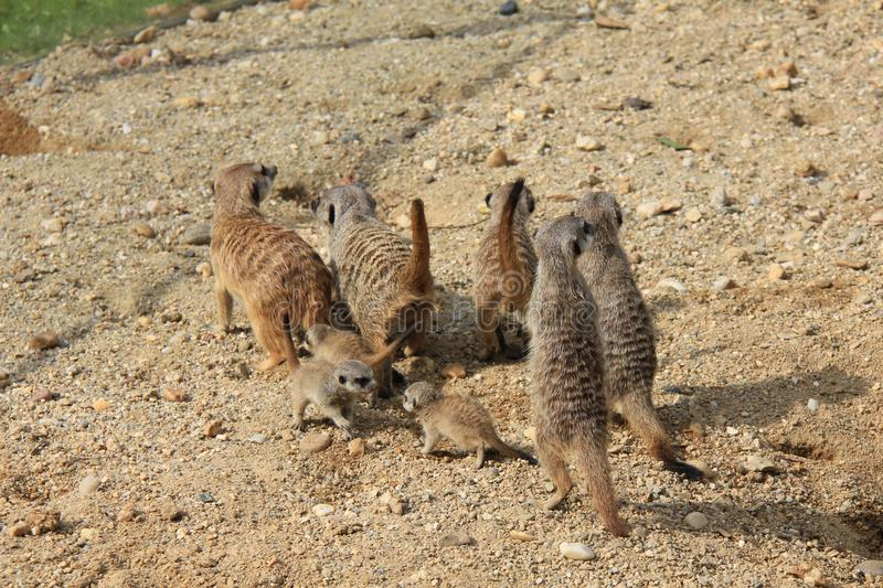Meerkats family on the sand. royalty free stock photos