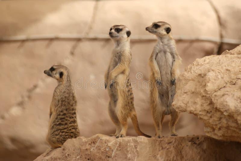 Meerkats che si leva in piedi sulla roccia fotografia stock libera da diritti