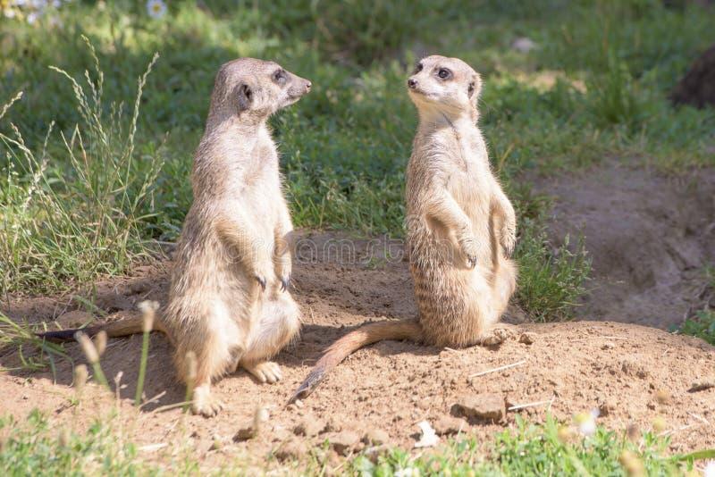 Meerkats, comportamiento natural, mirando para los enemigos imágenes de archivo libres de regalías