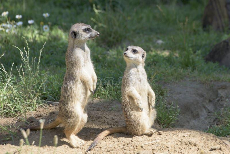 Meerkats, comportamiento natural, mirando para los enemigos fotografía de archivo libre de regalías