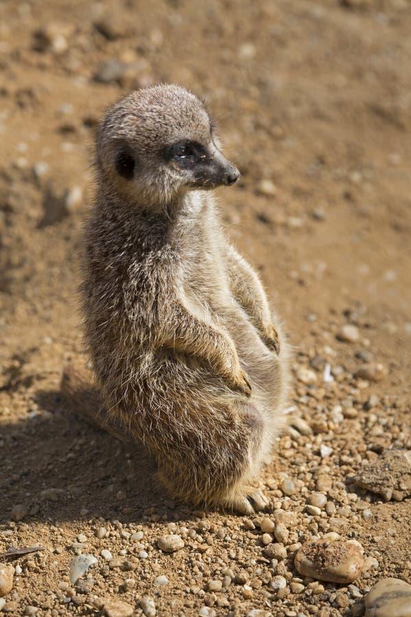 Meerkats dalla fauna selvatica del Sudafrica fotografia stock