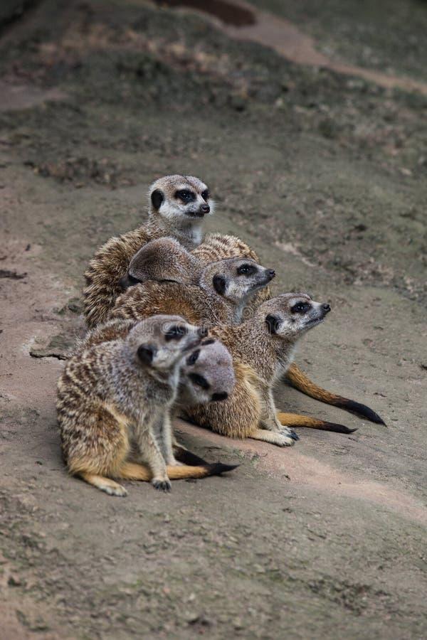 Meerkats, das auf eine Reihe aufpasst stockfoto