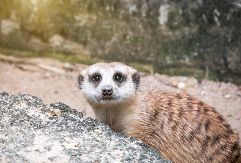 Meerkats die wacht kijken stock afbeelding