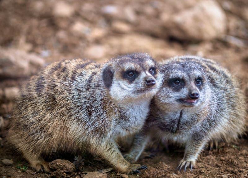 Meerkats divertidos que juegan en el desierto fotografía de archivo libre de regalías