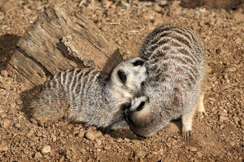 Meerkats dwa
