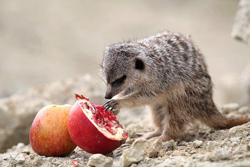 Meerkats Eat Royalty Free Stock Photo