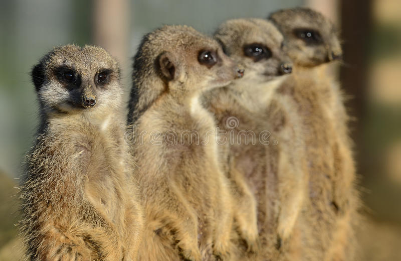 Meerkats in einer Reihe lizenzfreie stockfotos