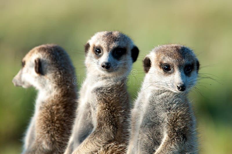 Meerkats em África, três meerkats bonitos que guardam, Botswana, África fotografia de stock