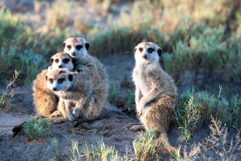 Meerkats en África, fotógrafo que hace frente curioso de cuatro meerkats lindos, Botswana, África fotos de archivo