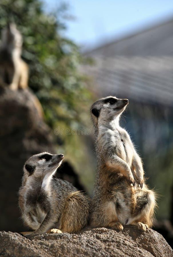Meerkats en patrulla imágenes de archivo libres de regalías