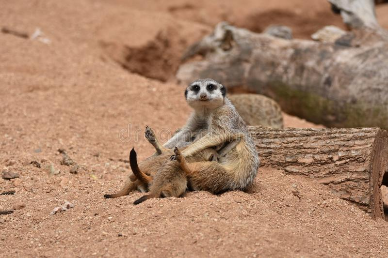 Meerkats Family, Mother Meerkat is feeding her Baby Meerkats stock photos