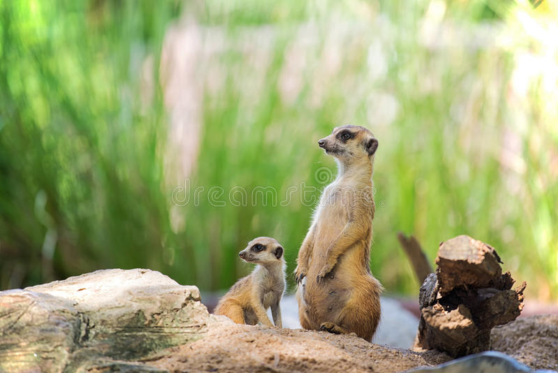The Meerkats and her baby in zoo royalty free stock photo