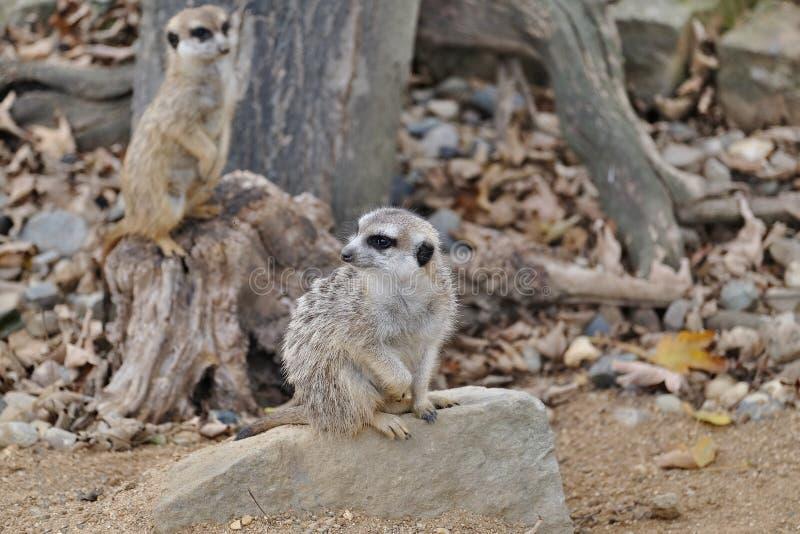 Meerkats in het dierentuinvogelhuis stock foto's