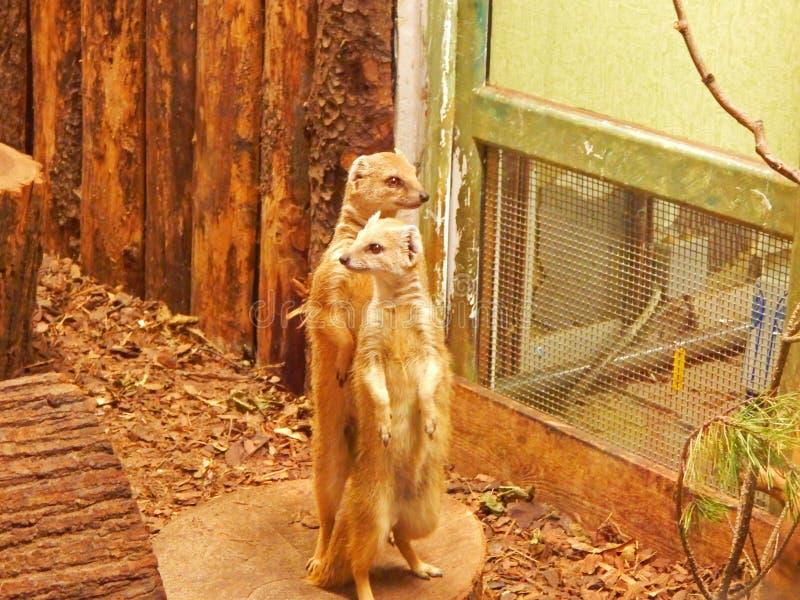 Meerkats i en zoo fotografering för bildbyråer