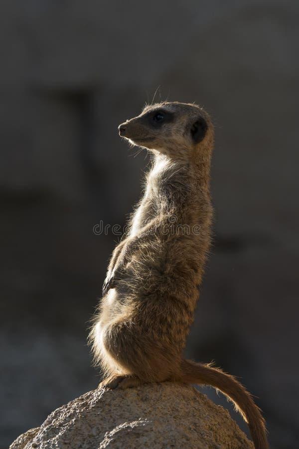 Meerkats keep watch on a rock stock photos