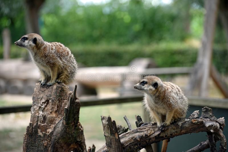 Meerkats looking to the left royalty free stock photo