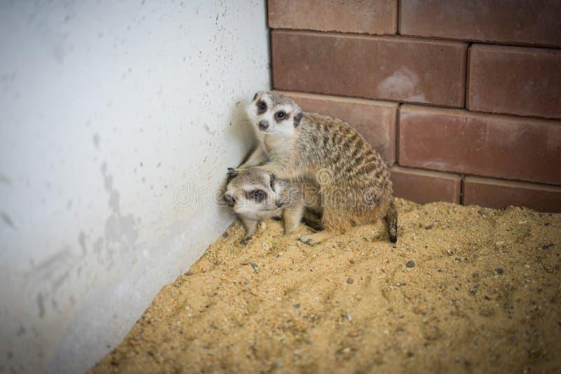 Meerkats medveten fara omkring, royaltyfria bilder