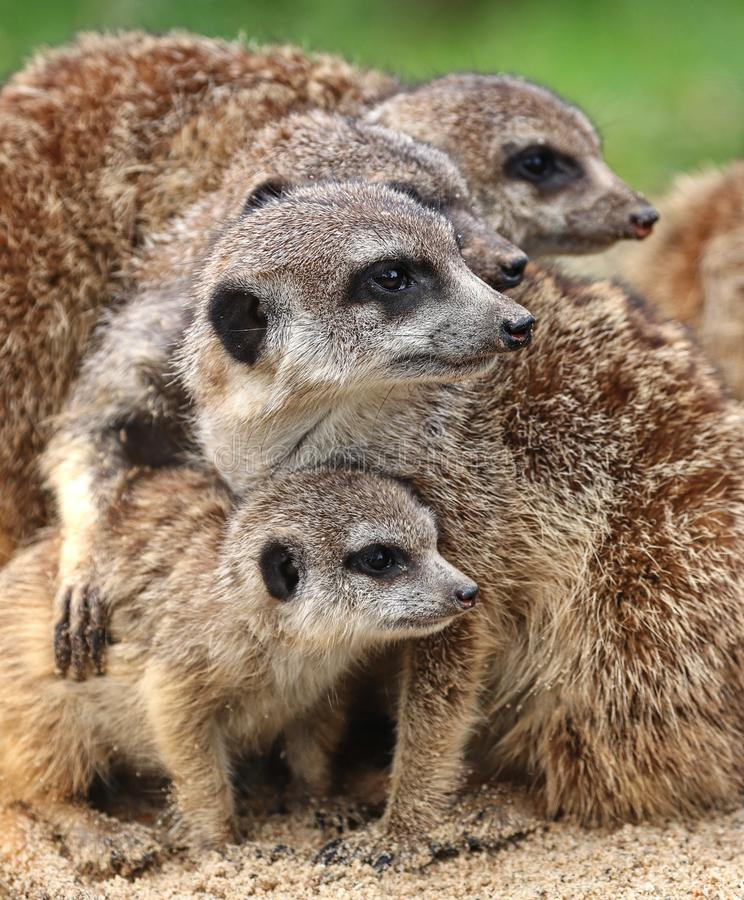 The meerkats royalty free stock photos