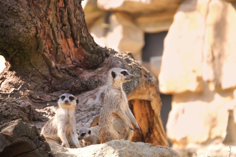 Meerkats mignons dans le jardin zoologique photo libre de droits