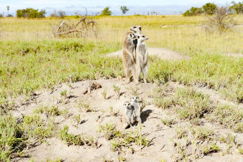 Meerkats in natural habitat, Botswana royalty free stock images